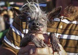 """""""Sweepee Rambo"""" es sostenido por su dueño Jason Wurtz, después de haber ganado el certamen del perro más feo. (Foto Prensa Libre: EFE)."""