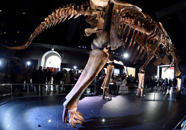 Fósiles de este dinosaurio fueron colocados en el Museo de Historia Natural de Nueva York. AFP