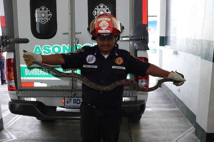 Socorrista muestra la serpiente de 1.25 metros de largo que fue atrapada en La Pinada II, zona 3 de El Tejar, Chimaltenango. (Foto Prensa Libre: Víctor Chamalé)
