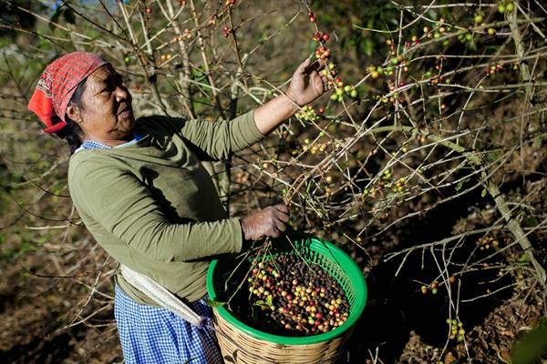 Sector cafetero está preocupado por producción en el país. (Foto: Hemeroteca PL)
