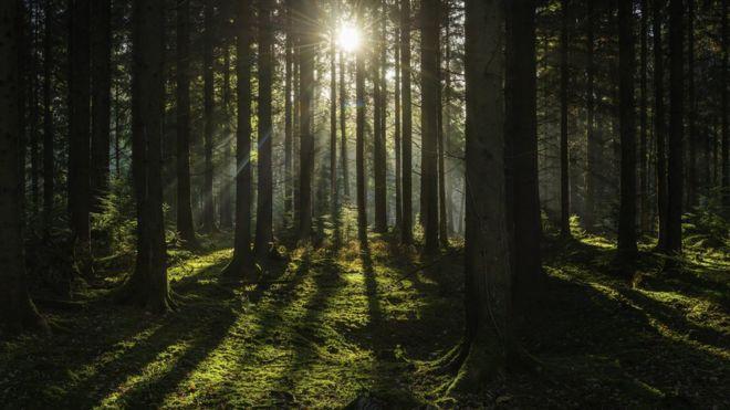 Cuánto CO2 podrán seguir absorbiendo los árboles es una pregunta que intriga -y preocupa- desde hace años a científicos. GETTY IMAGES