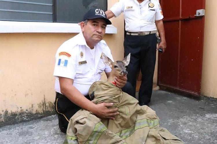 Un socorrista sostiene al venado que fue localizado saltando en una de las calles mazatecas. (Foto Prensa Libre: Cristian Icó)