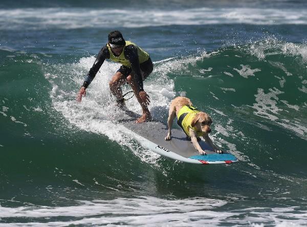 Un perro de surf compite en el evento anual de Surf City Surf Dog en Huntington Beach. (AP).