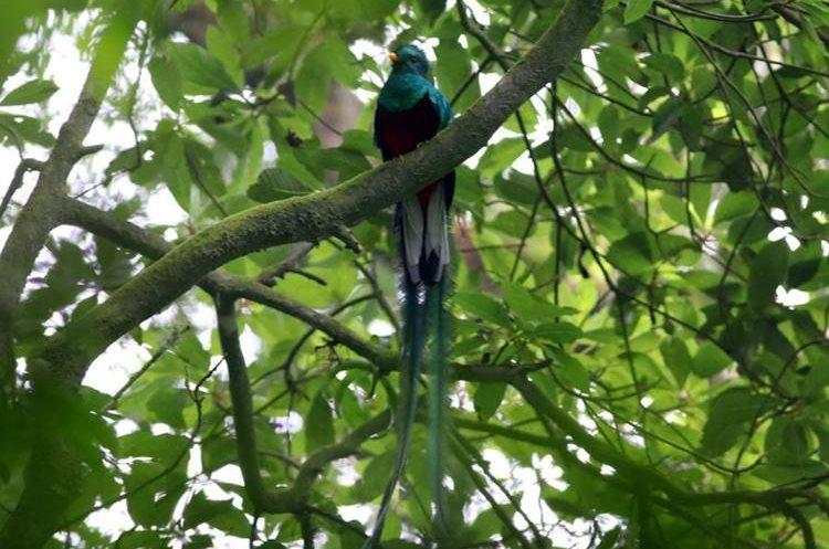 El ave símbolo se posa sobre los árboles en la aldea Loma Linda, El Palmar, Quetzaltenango. (Foto Prensa Libre: Rolando Miranda)