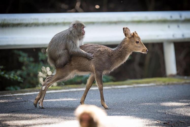 El mono y la cierva fueron captados en un inusual acercamiento sexual. (Foto Prensa Libre: AFP).