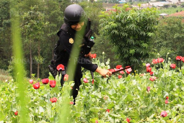 Policías antinarcóticos participan en la destrucción de plantas de amapola. (Foto Prensa Libre: Estuardo Paredes/enviado especial)