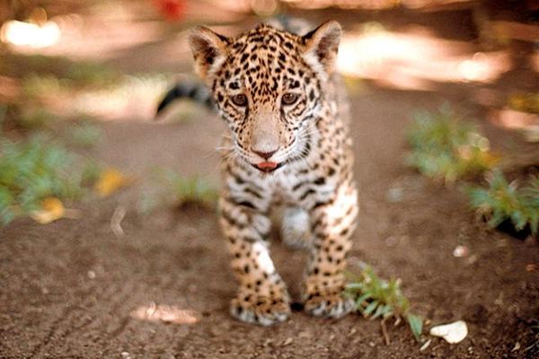 <p>Investigadores brasileños pretenden clonar jaguares. (Foto Prensa Libre: Archivo)</p>