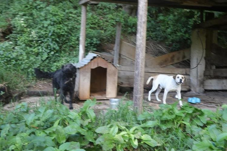 Exhibir a los perros de razas peligrosas representa peligro para las personas. (Foto Prensa Libre: Whitmer Barrera)