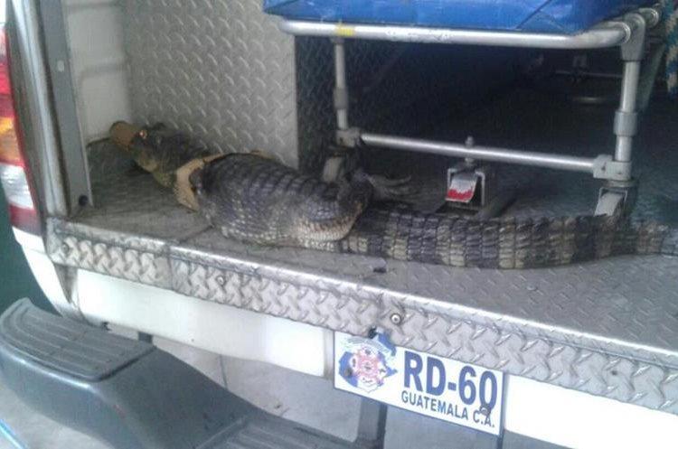 El ejemplar fue entregado a autoridades del Conap para que sea devuelto a su hábitat. (Foto Prensa Libre: cortesía CBMD)