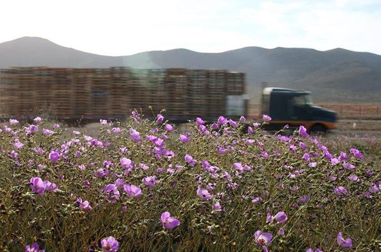 """CH05. VALLENAR (CHILE), 25/10/2015.- Fotografía del 21 de octubre de 2015 del árido desierto de Chile que cada cinco o siete años se transforma en una alfombra de flores de color malva pero las abundantes precipitaciones que han mojado la hostil tierra norteña del país estos últimos meses, han propiciado el """"florecimiento más espectacular de los últimos 18 años"""", en la región de Atacama, localidad distante a 750 kilómetros al norte de Santiago (Chile). EFE/Mario Ruiz"""