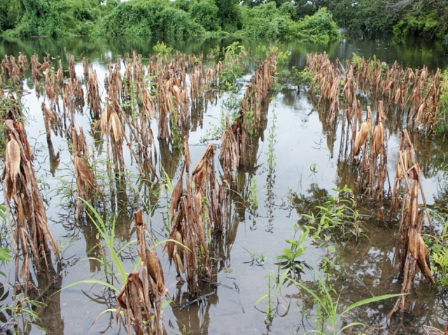 Maga reporta que da os a cultivos no son significativos for Que son cultivos asociados