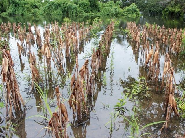 Inundaciones por las lluvias han provocado daños a los cultivos, sobre todo de maíz.