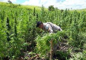 La Comisión de Salud del Congreso frenó un nuevo intento de legalizar el Cannabis. (Foto Prensa Libre: Hemeroteca PL)