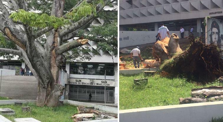 El daño que causan los organismos en los árboles y el estrés se reflejan en las ceibas de la Plaza de los Mártires, en la Usac, zona 12. (Foto Prensa Libre: Oscar Felipe Q.)
