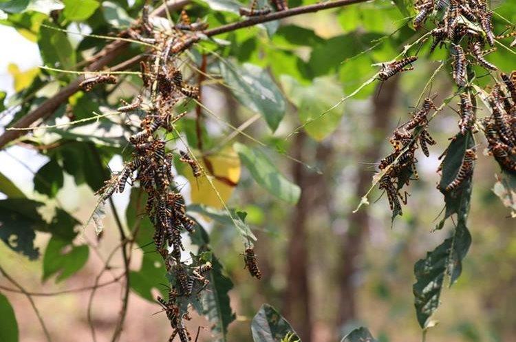 Las langostas han destruido árboles y cultivos en Chiquimula.