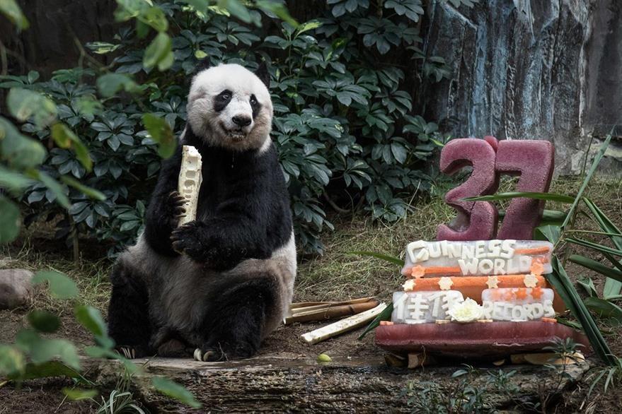 """Panda """"Jia Jia"""" recibió un pastel en su cumpleaños. (AFP)"""