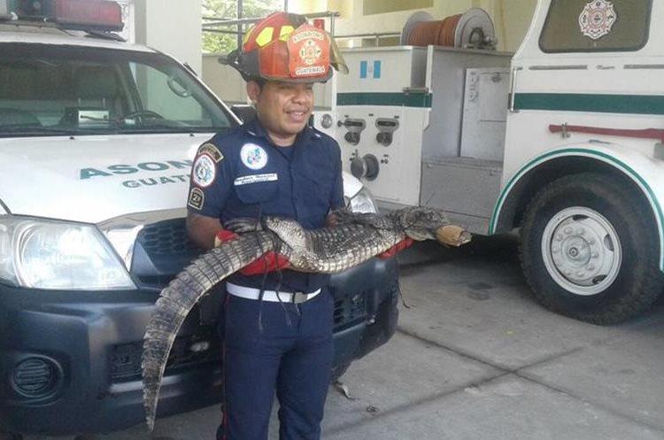 Un metro y medio es el tamaño del animal localizado cerca de unas viviendas. (Foto Prensa Libre: cortesía CBMD)