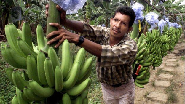 La United Fruit Company contribuyó muchísimo a la popularización del término república bananera. AFP