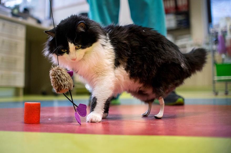 el gato Pooh de un año que juega con un juguete con sus nuevas patas traseras biónicas. (AFP).