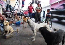 En Barberena, Santa Rosa, un grupo de perros callejeros deambulan en busca de alimentos. (Foto Prensa Libre: Oswaldo Cardona)