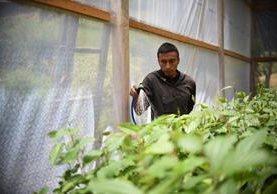 Un agricultor, en Concepción Chiquirichapa, Quetzaltenango, reúne agua de lluvia para regar sus siembras. (Foto Prensa Libre: AFP Johan Ordoñez)