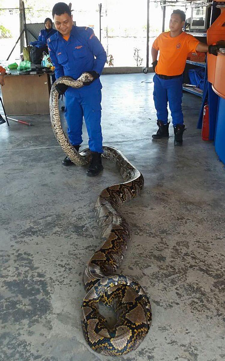 La serpiente pitón apareció en una constructora de Malasia. (Foto Prensa Libre: AFP).