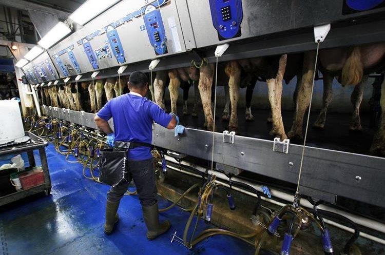 Breugning ha invertido alrededor de US$100 mil dólares para que sus vacas sean felices y obtener de ello una mejor producción de leche. (Prensa Libre: AP)