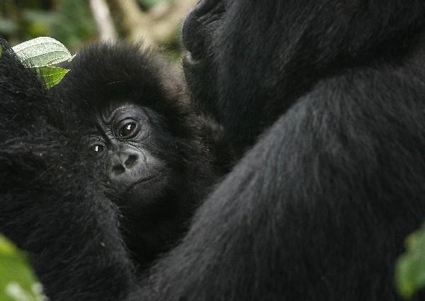 Una gorila y su cria en el parque Virunga de la República Democrática del Congo.
