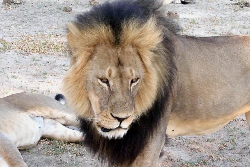 Cecil, el leon más famoso de Zimbabue, destacado por su gran melena negra. (Foto Prensa Libre: AP).