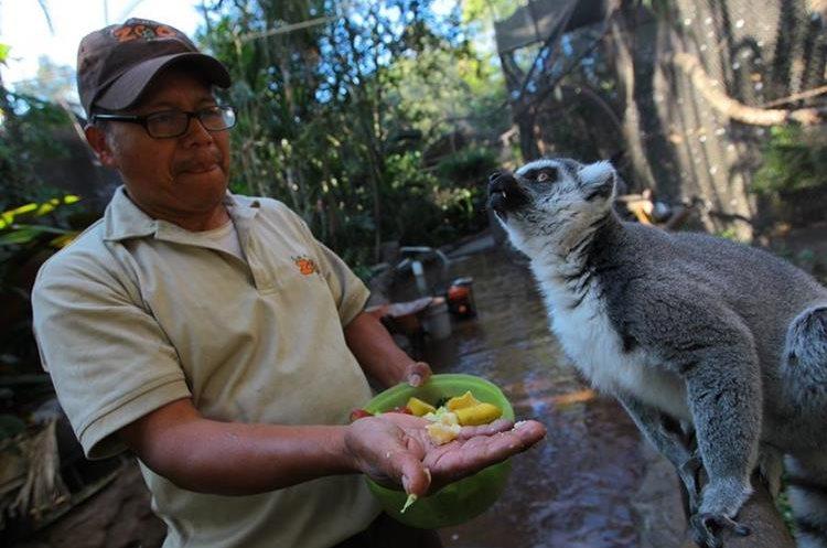 Carlos Tema alimenta a los lémures del Zoológico la Aurora.