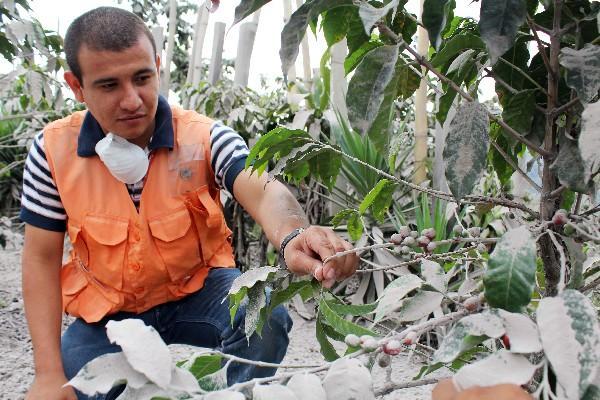 Un delegado de la Conred observa plantas de café cubiertas de ceniza, en   Retalhuleu.