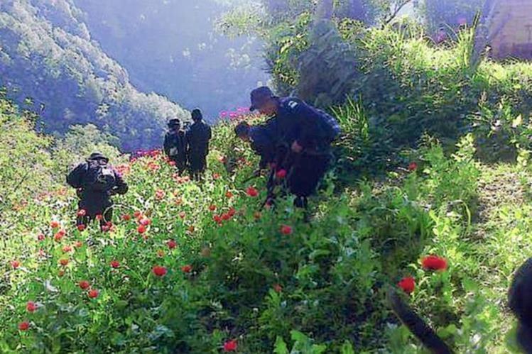 Agentes de  la PNC erradican plantaciones de amapola en San Marcos. (Foto Prensa Libre: MP)