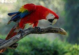 La guacamaya roja se puede observar en el norte del país. (Foto Prensa Libre Zulena Escobedo)