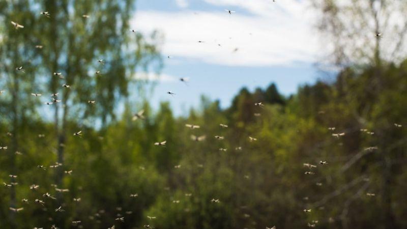 Vectrax atrae a los mosquitos pero no a los demás insectos que necesitan del néctar para sobrevivir. GETTY IMAGES