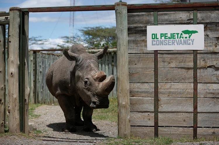 Sudán murió a los 45 años, según informó la reserva natural keniana de Ol Pejeta, donde vivía desde 2009. (Foto Prensa Libre: EFE)