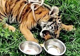 Tigre siberiano rescatado en Suchitepéquez se alimenta de unas seis libras de carne al día. (Foto Prensa Libre: Cortesía)