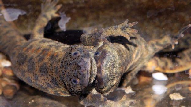 Los tritones nervados españoles empujan las costillas fuera de su cuerpo como arma de defensa.  (Foto Prensa Libre: Getty Images)