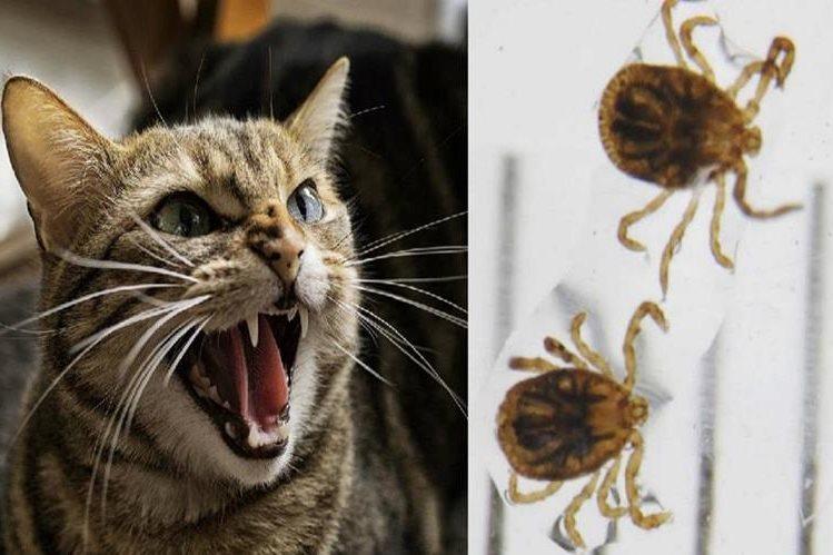 Japón informó de un posible primer caso mundial de transmisión de un mamífero a un humano del peligroso virus SFTSV por un gato.