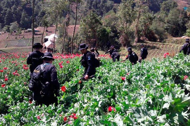 Agentes de la Policía Nacional Civil participan en la erradicación de amapola. (Foto Prensa Libre: Whitmer Barrera)