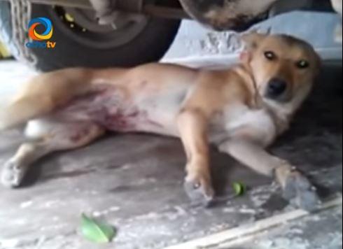 Foxy quedó gravemente herida después de la golpiza. (Foto: Youtube).