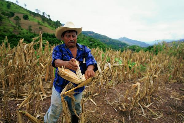 Imagen de referencia. En el Oriente de Guatemala, agricultores son afectados por las sequías.