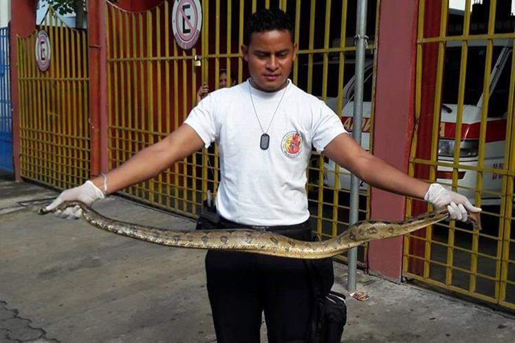 Un bombero enseña la serpiente que fue localizada en el establecimiento educativo. (Foto Prensa Libre: Whitmer Barrera)