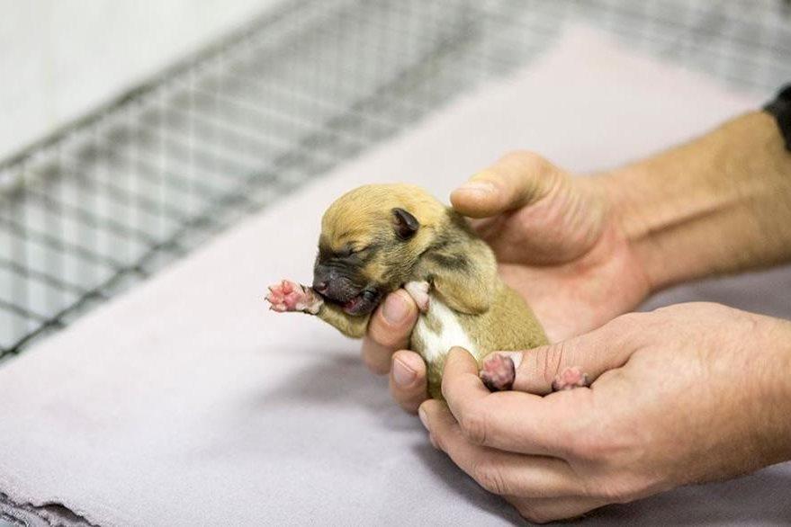 Un hombre del refugio donde nacierron los cachorritos muestra a uno de ellos. (Foto: @moscowmetro).