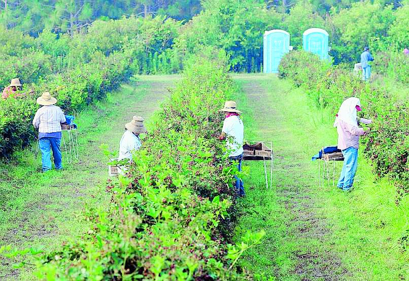 Agricultores inmigrantes en Georgia, trabajan en una finca de moras. (Foto Prensa Libre: Hemeroteca PL).
