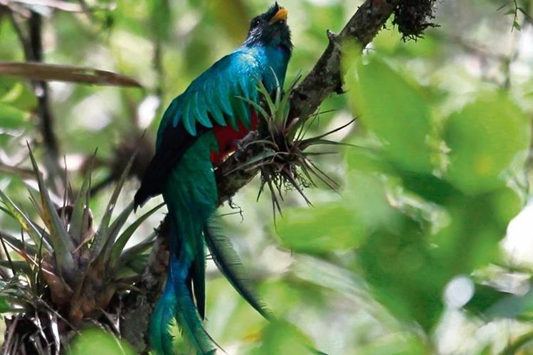El quetzal quedó oficializado como símbolo de la independencia y autonomía de la nación, según Decreto No. 33 del 18 de noviembre de 1871, emitido por el general Miguel García Granados. (Foto Prensa Libre: Esbin Garcia)