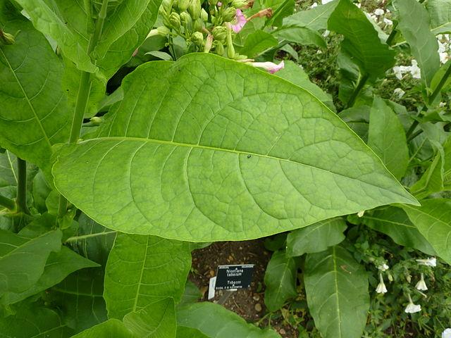 El tabaco es barato, crece rápido y tiene una cantidad abundante de hojas, lo que lo convierte en un incubador idóneo para las vacunas.