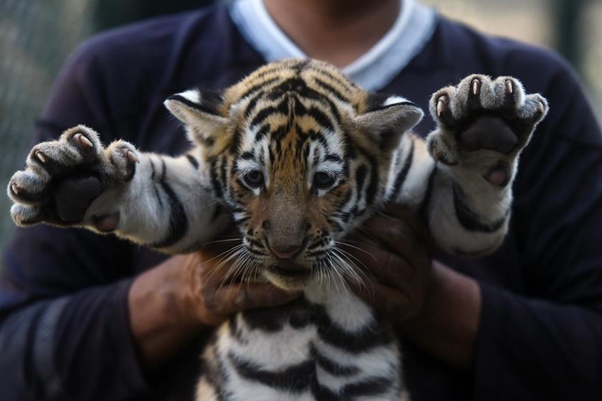 Los cuatro cachorros de tigre de bengala nacieron con éxito en un refugio de animales.(AFP).