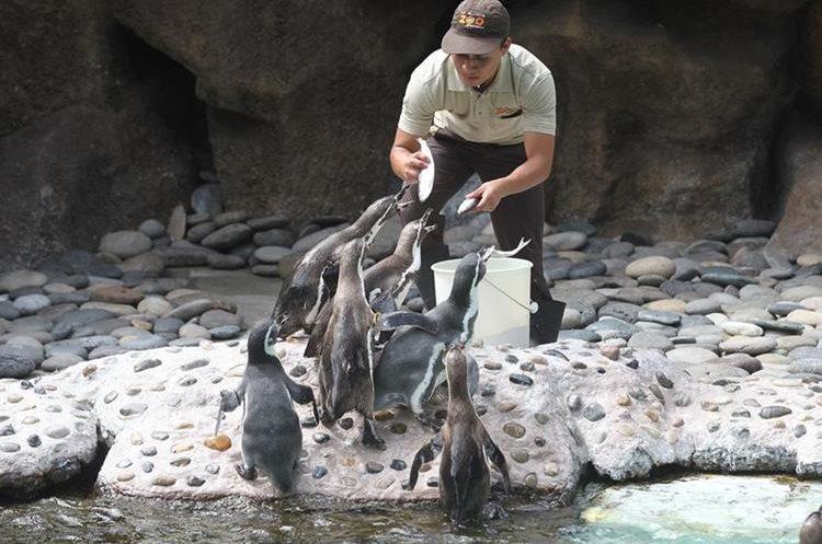 Los pingüinos de Humboldt reciben una dieta especial de peces arenques, con los cuales son alimentados.