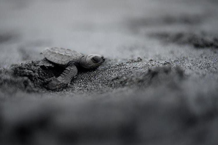 En Filipinas, el Gobierno comenzó a interesarse en la protección de las tortugas a principios de 1980. (Foto Prensa Libre: AFP).