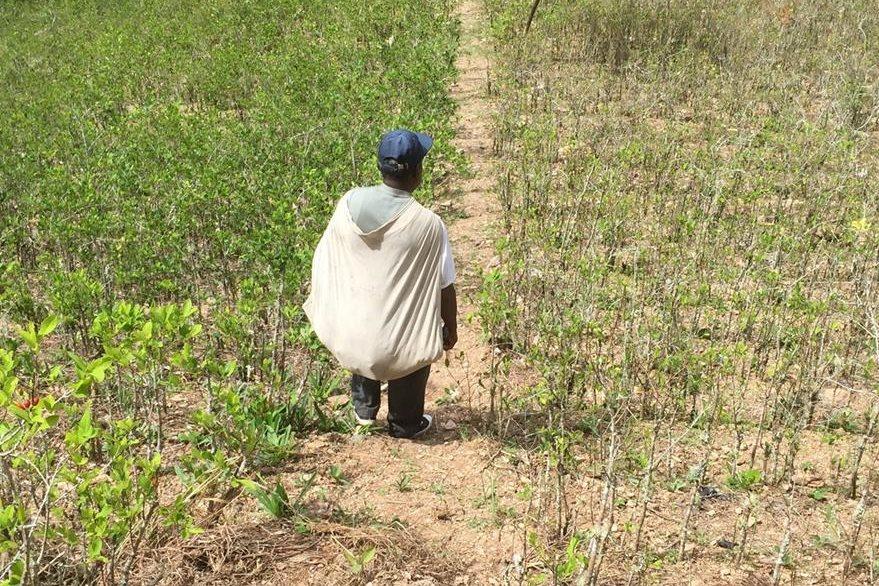 Julio Pinedo trabajando en su plantación de coca en Mururata.